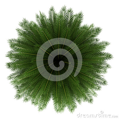 Top view of canary island date palm tree isolated