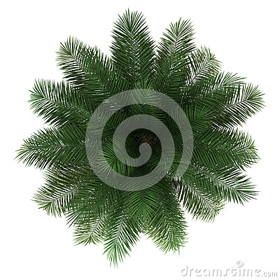 Top view of chilean wine palm tree isolated