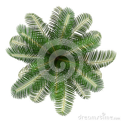 Top view of coconut palm tree isolated on white