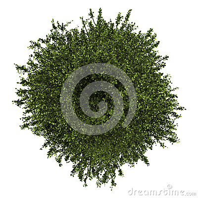 Top view of common aspen isolated on white