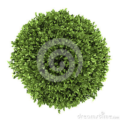 Top view of common holly bush isolated on white
