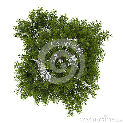 Top view of crack willow tree isolated on white
