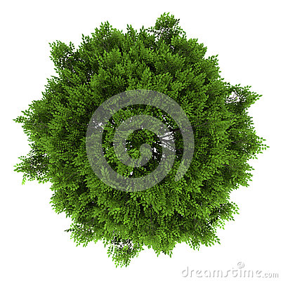 Top view of european ash tree isolated on white
