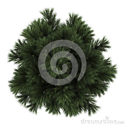 Top view of european black pine tree isolated