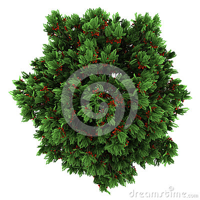 Top view of european rowan tree isolated on white