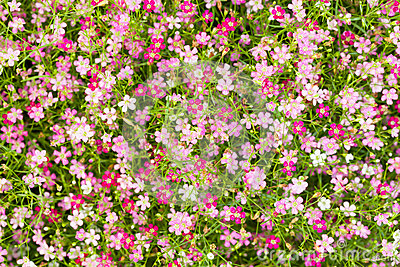 Top View Of Gypsophila Flower Royalty Free Stock Photo - Image ... X Clipart