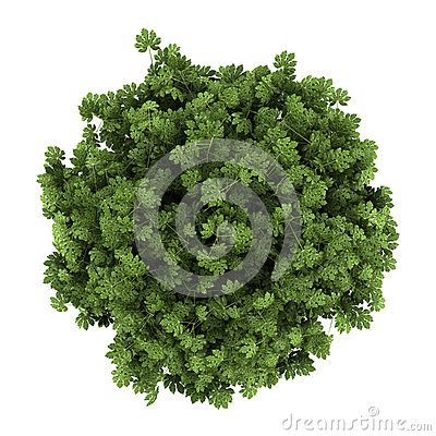 Top view of japanese aralia bush isolated on white