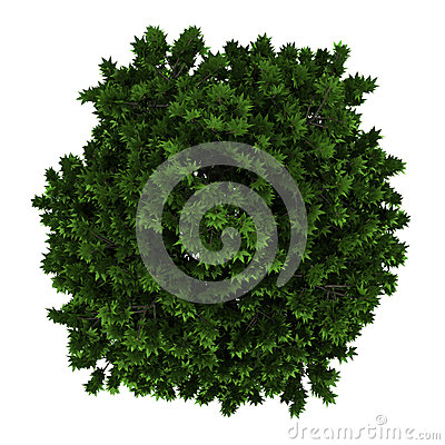 Top view of London plane tree isolated on white