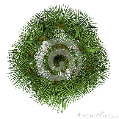 Top view of mexican fan palm tree isolated