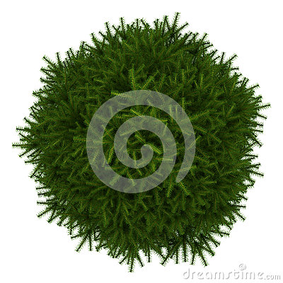 Top view of momi fir tree isolated on white