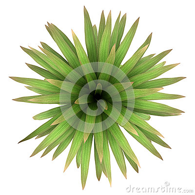 Top view of mountain cabbage palm tree isolated