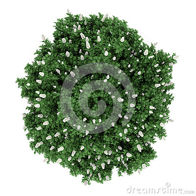 Top view oakleaf hydrangea bush isolated on white
