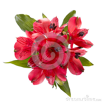 Free Top View Of Red Alstroemeria Flowers Royalty Free Stock Photo - 29616195