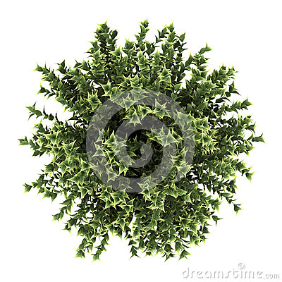 Free Top View Of Red-barked Dogwood Bush Isolated Royalty Free Stock Images - 25097689
