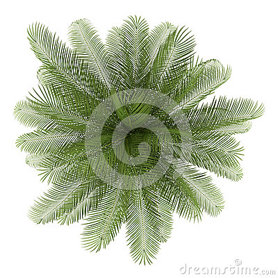 Top view of oil palm tree isolated on white