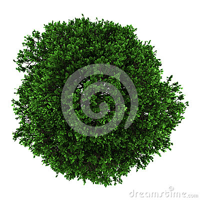 Top view of pedunculate oak tree isolated on white