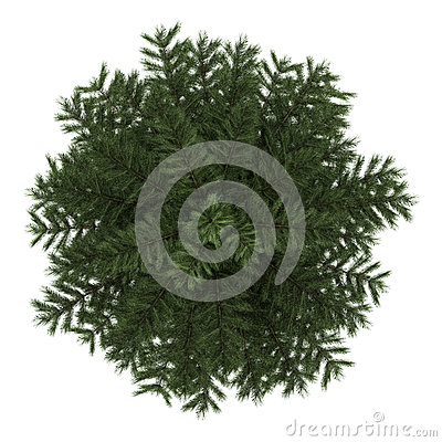 Top view of scots pine tree isolated on white