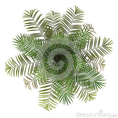 Top view of sugar palm tree isolated on white