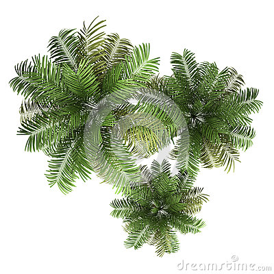 Top view of three areca palm trees isolated