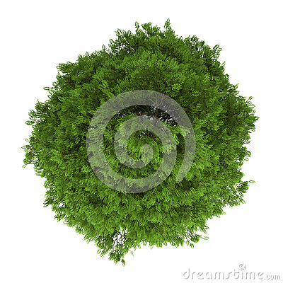 Top view of tree of heaven isolated on white