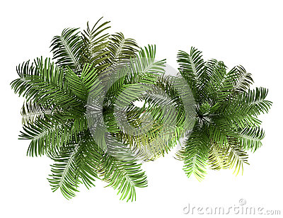 Top view of two areca palm trees isolated on white