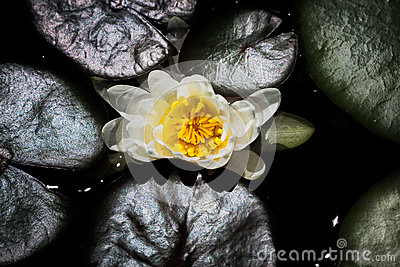 Top View of Water Lilly