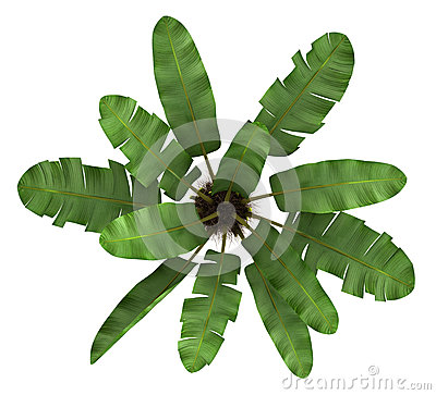 Top view of wild banana palm tree isolated