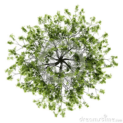 Top view of willow tree isolated on white