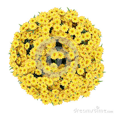 Top view of yellow sneezeweed flowers isolated