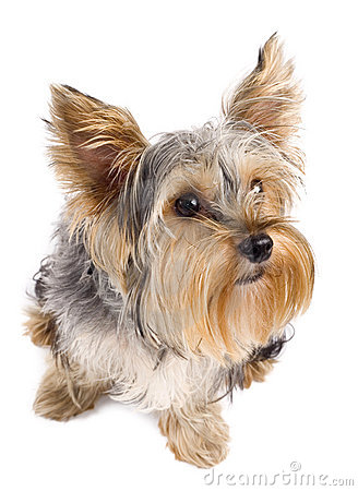 Top view of a yorkie
