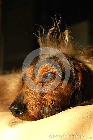 Topete do dachshund do retrato