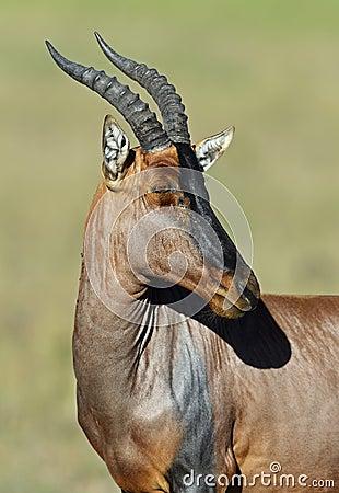 Free Topi Antelope Royalty Free Stock Photos - 39514468