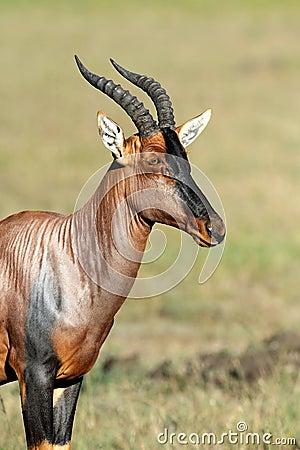 Free Topi Antelope Stock Photo - 39827000
