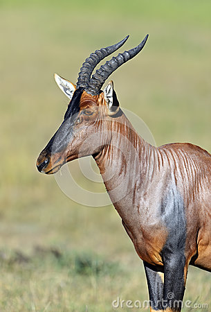 Free Topi Antelope Royalty Free Stock Photos - 40782398