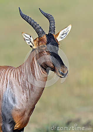 Free Topi Antelope Stock Image - 41002771