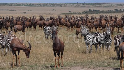 Topi, damalige Korrigum, Grant`s Zebra, Gruppe in Savannah, Masai Mara Park in Kenia, stock video footage