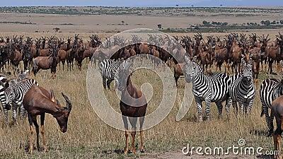 Topi, damaliscus korrigum, Grant's Zebra, Group in Savannah, Masai Mara Park в Кении, акции видеоматериалы