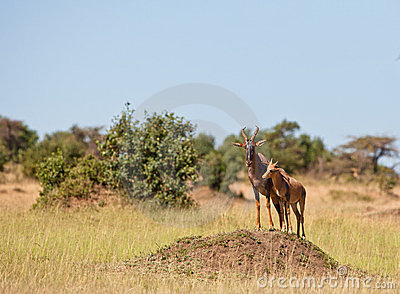 A Topi mother with her calf