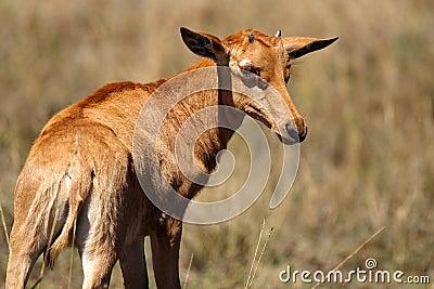 Topi young, Masai Mara, Kenya