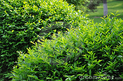 Topiary trimmed bush