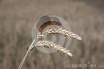 Topo di raccolto, minutus di Micromys