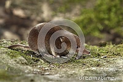 Toporagno comune, araneus del Sorex