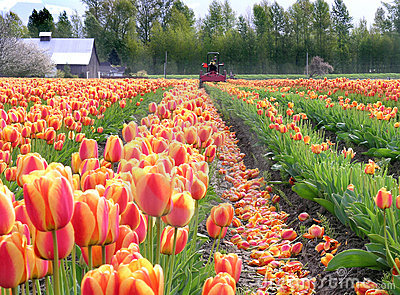 Topping the Tulips