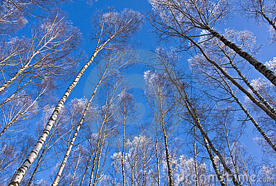 Tops of birches