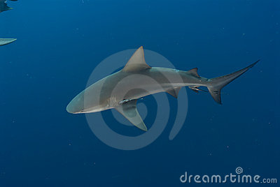 Topview of a bull shark