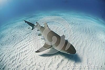 topview-lemon-shark-21245151.jpg