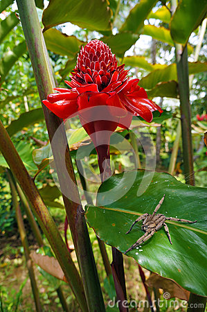 Free Torch Ginger Flower With Wandering Spider On Leaf Stock Photo - 37613900