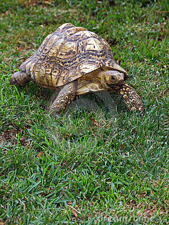 Free Tortoise Royalty Free Stock Photos - 11376128