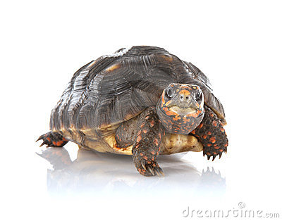 Tortoise Stock Photos - Image: 24134583
