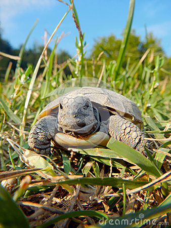 Free Tortoise Baby Stock Photography - 35430692